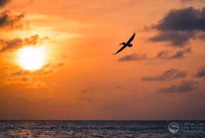 Een pelikaan vliegt langs Eagle Beach op Aruba tijdens zonsondergang.
