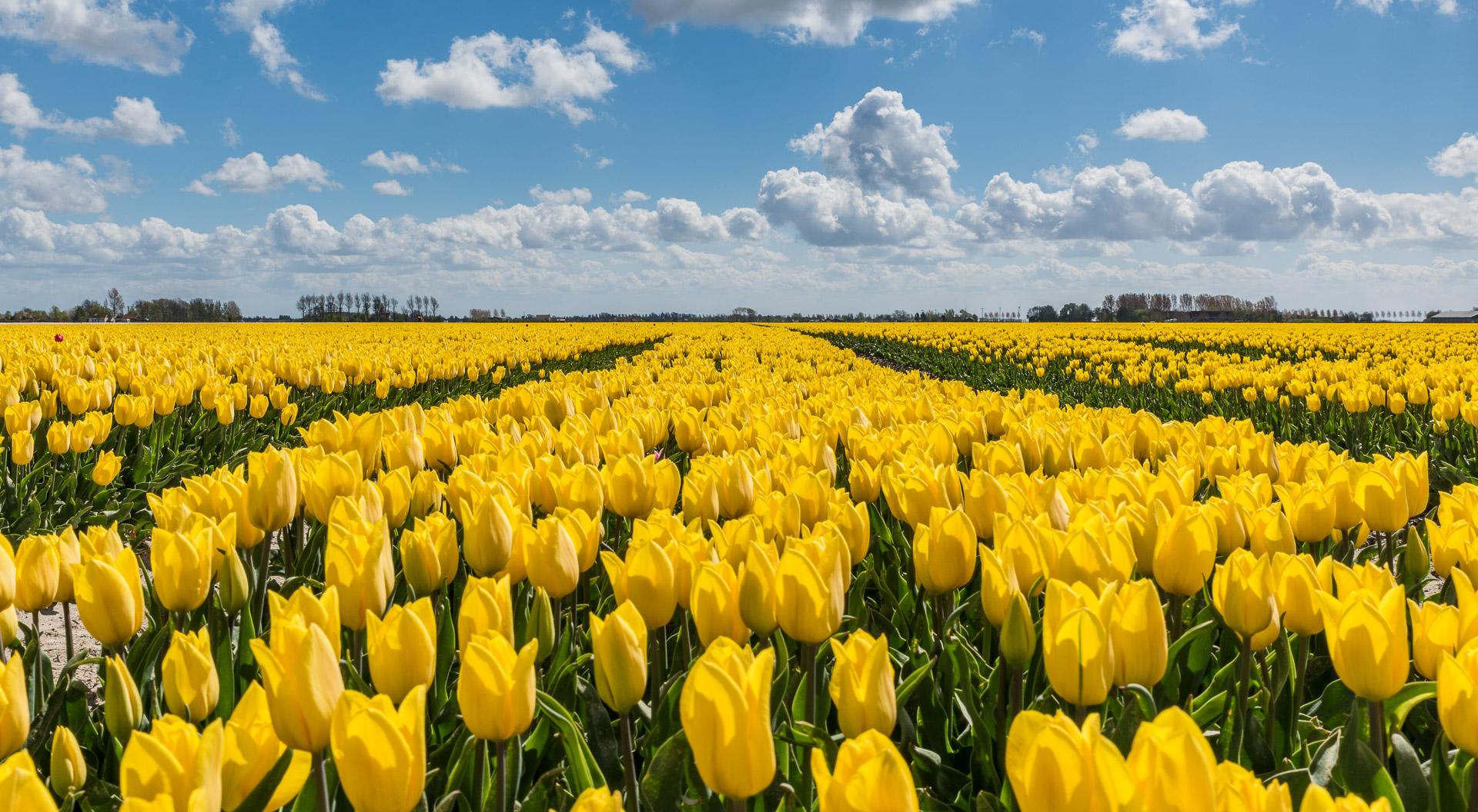 Gele tulpen onder een prachtige blauwe wolkenlucht